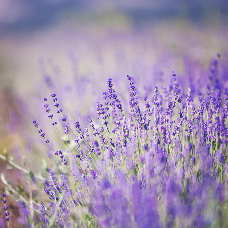 Lavender lilac flowers - floral background royalty free stock photo