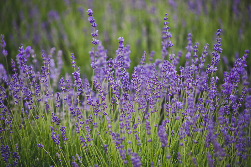 Lavender lilac flowers floral background royalty free stock photos