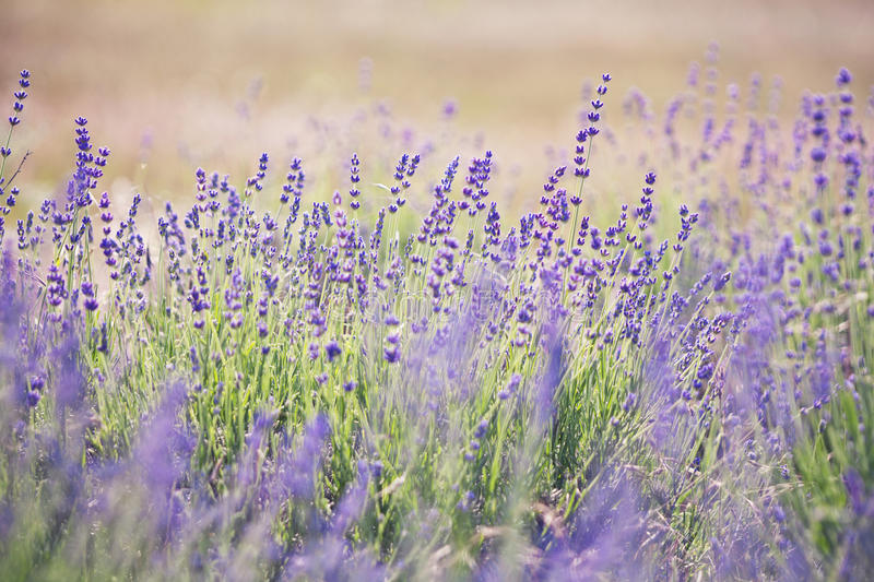 Lavender lilac flowers - nature background stock photography
