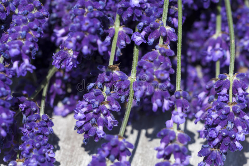 Lavender Macro Shot Stock Photo