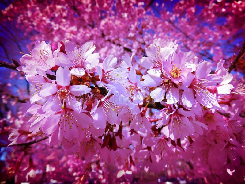 Lavender Mid March Blossoms. Photo of small blossoms similar to later blooming cherry blossoms during spring in early to mid march. Special effects filters royalty free stock photos