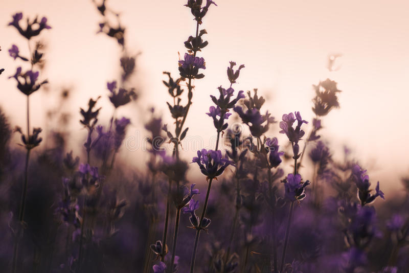 Lavender mornig at the field royalty free stock photo