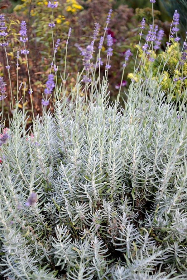 Lavender is narrow-leaf, a variety of Lavandula angustifolia Richard Grey. Flowering plants stock photography