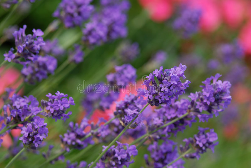 Lavender and pink rose royalty free stock images