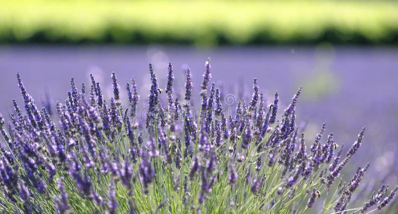 Lavender plant in bloom. Closeup of a lavender plant in bloom. Genus: Lavandula stock image