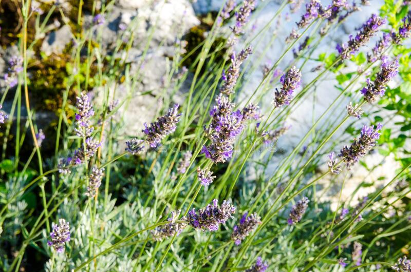 Lavender plant blooming. Purple flower heads of lavandula in the garden, close up. Lavandula angustifolia growing in the field in royalty free stock photography