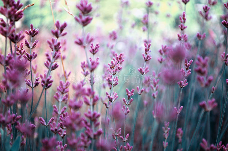 Lavender plant field. Beautiful detail of a lavender field in beautiful varitone effect and PANTONE 18-3224 Radiant Orchid, color of 2014