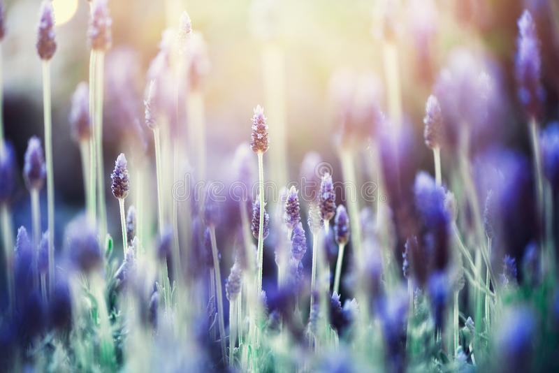 Lavender plant field. Lavandula angustifolia flower. Blooming violet wild flowers background with copy space. Selective stock images