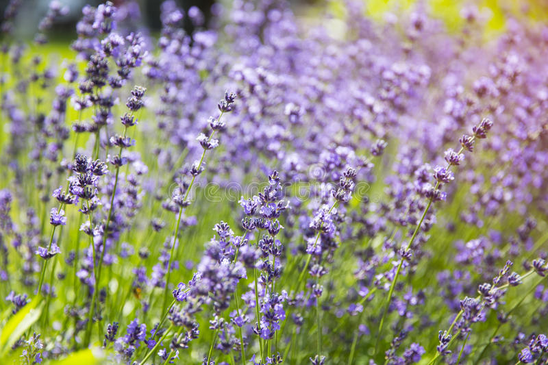 Lavender plant flowers on agriculture farm royalty free stock images