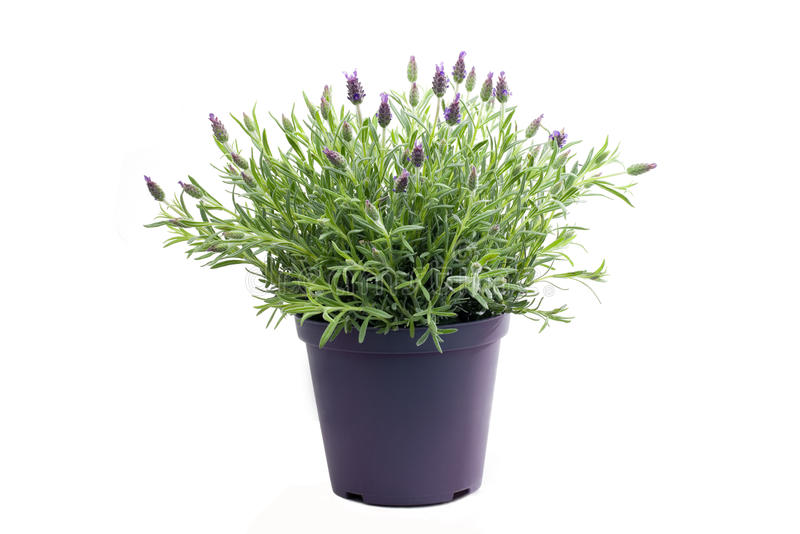 Lavender plant isolated on white. Background stock image