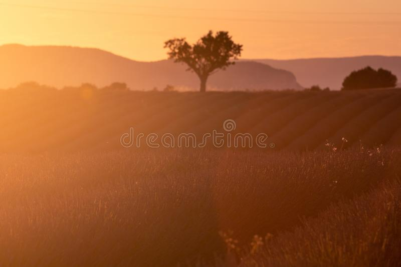 Lavender plantation field during sunset beautiful place in Provence royalty free stock photo