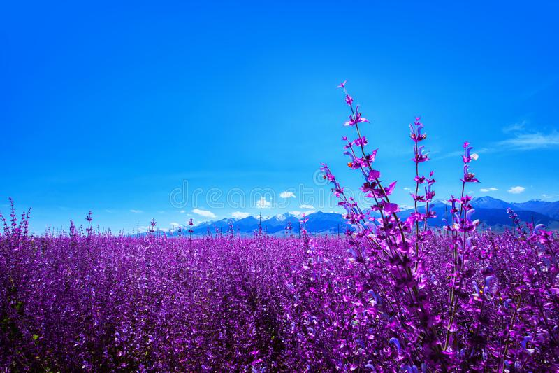 Lavender planted at foot of Tianshan mountain China stock image
