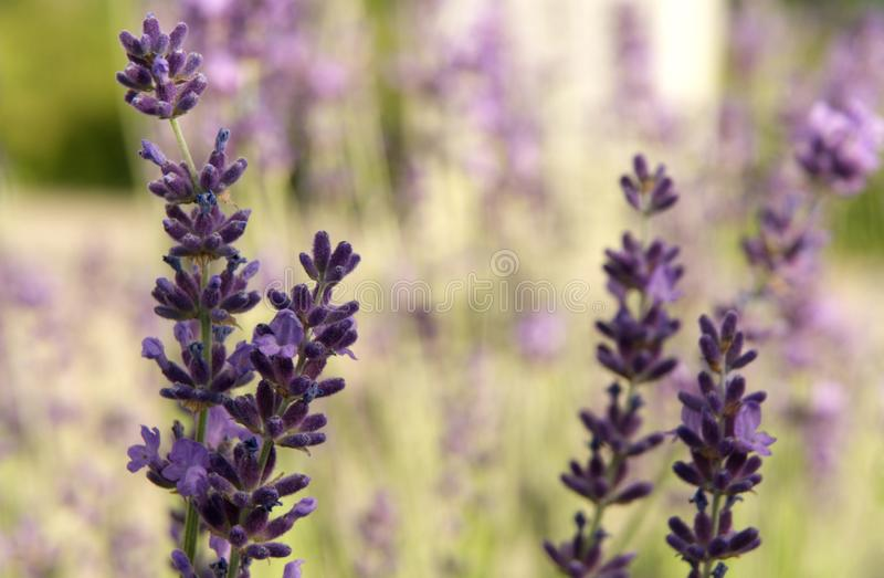 Lavender plants beginning to bloom in early summer stock images