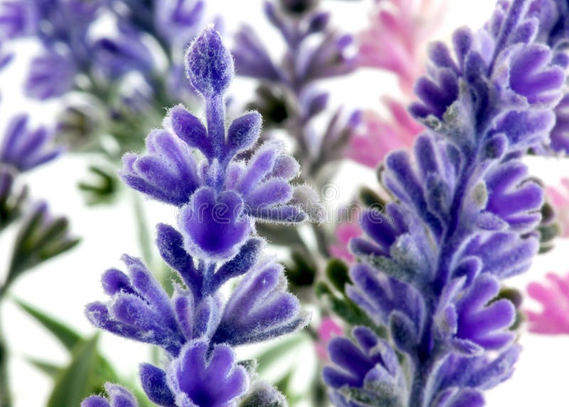Lavender plants stock photography
