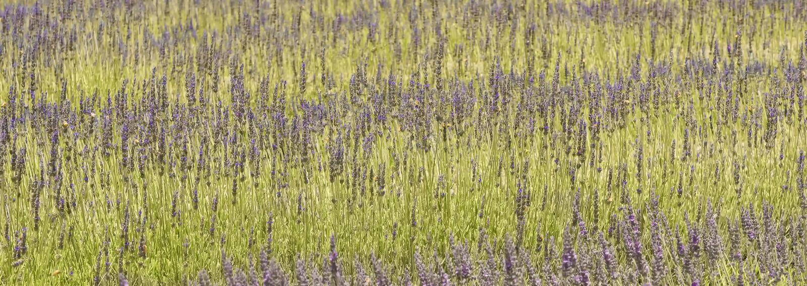 Download Lavender Plants, San Diego County, California Stock Photo - Image: 33067300
