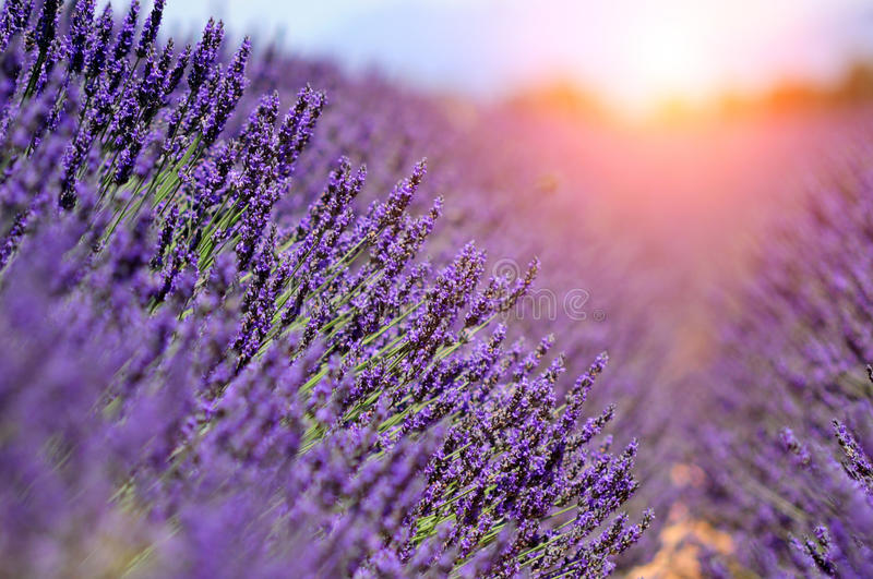 Lavender. The plateau of Valensole in Provence