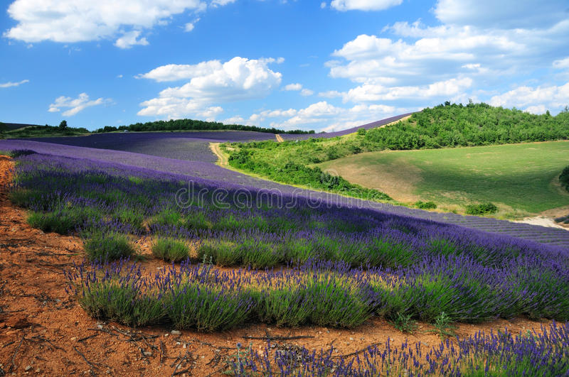 Download Lavender. The Plateau Of Valensole In Provence Stock Photo - Image: 34439768