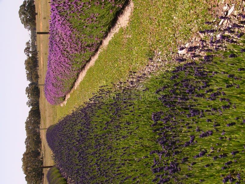 Lavender plot stock photography