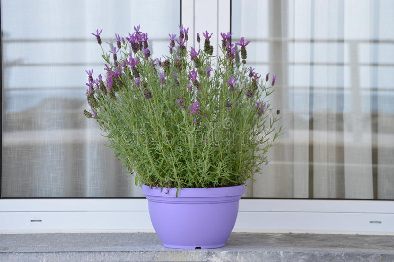 Download Lavender pot plant stock image. Image of lavender, white - 83716189