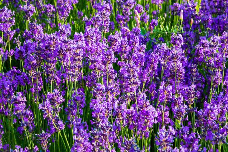 Lavender, precious ornamental plants, wild with lilac flowers, b stock photo