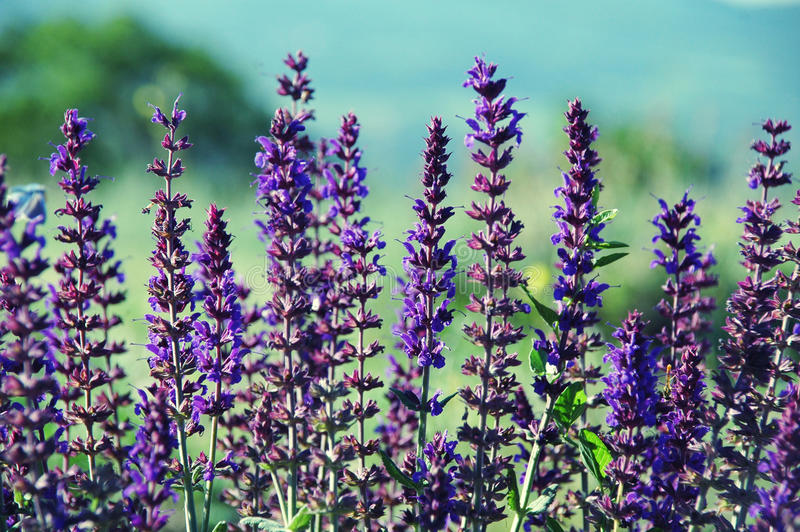 Download Lavender in Provence stock photo. Image of medicinal - 26677502