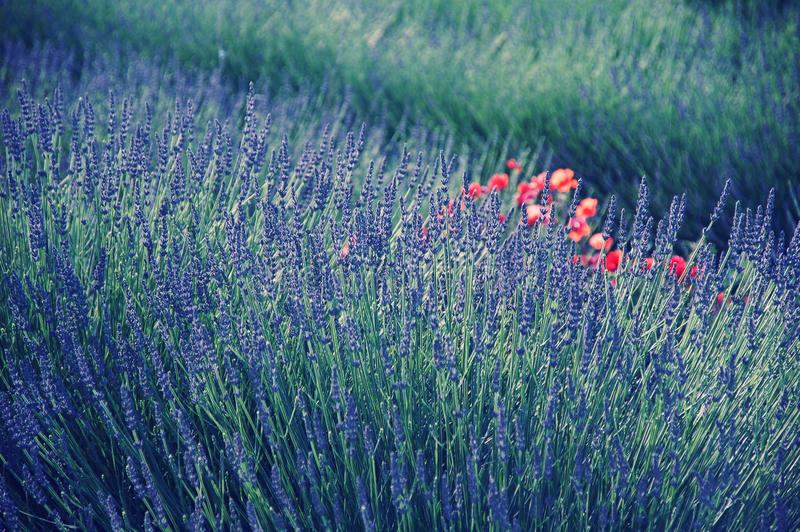 Download Lavender In Provence Stock Photos - Image: 26677943