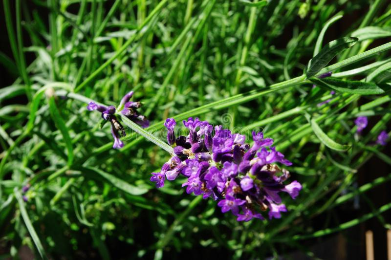 Lavender. Purple lavender flowers on the balcony royalty free stock photo