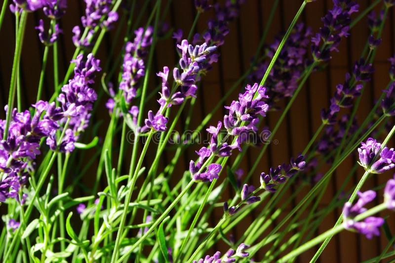 Lavender. Purple lavender flowers on the balcony royalty free stock images