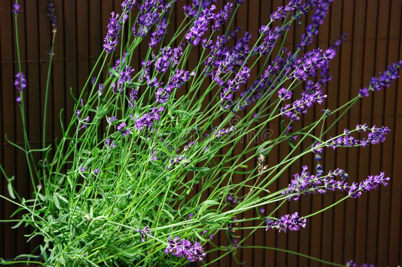 Lavender. Purple lavender flowers on the balcony stock photography