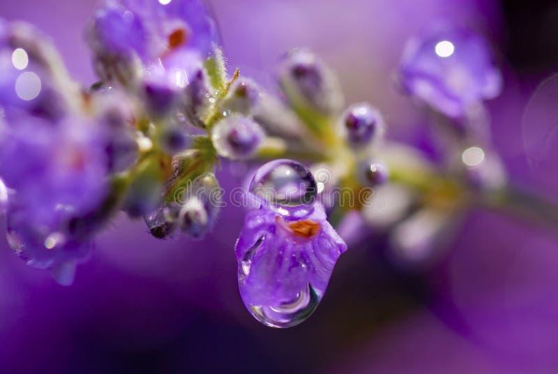 Lavender Rain stock photos