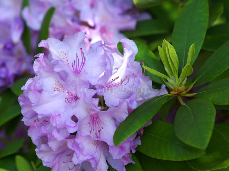 Lavender Rhododendron In Bloom royalty free stock photos