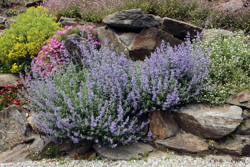 Lavender on the rock garden stock photos