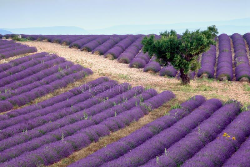 Download Lavender rows stock image. Image of alpes, magenta, blue - 23758497