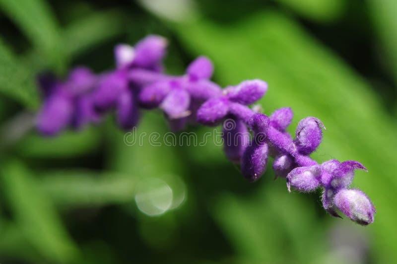 Lavender. Season is here finally royalty free stock photo