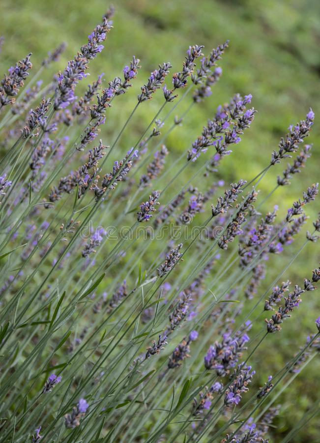 Lavender Shot on a Sunny Day royalty free stock images