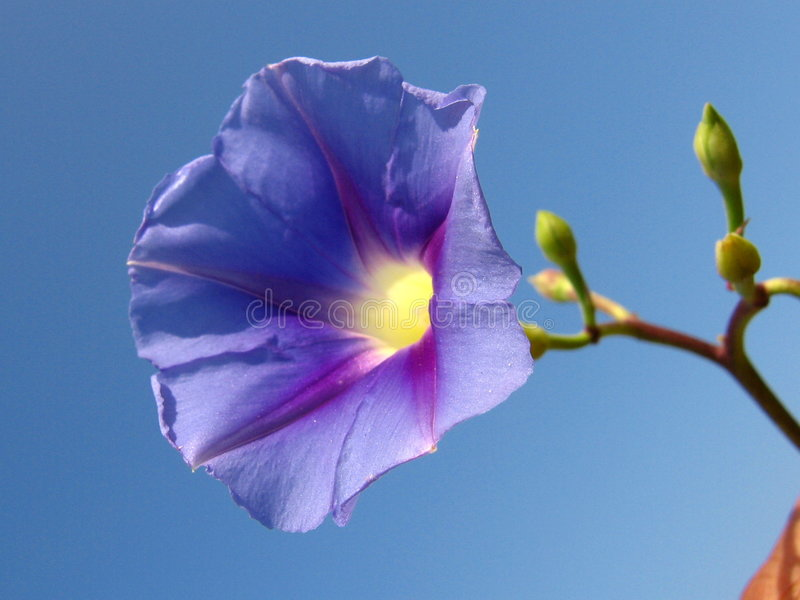 Lavender Sky. A beautiful lavender flower in blue sky stock photo