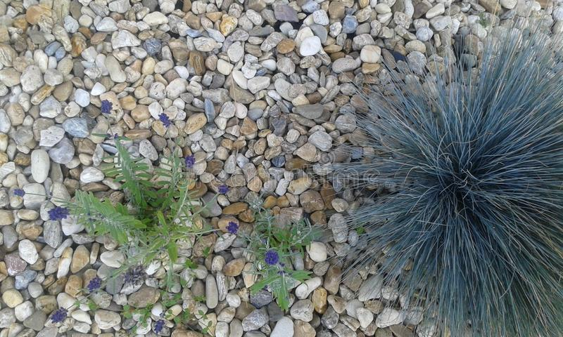 Lavender. And Spiky Fescue In The Garden stock photo