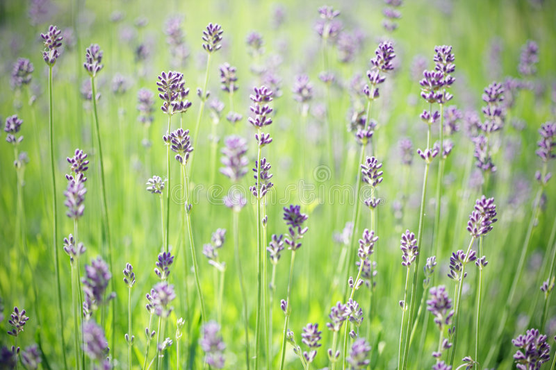 Download Lavender Stems Stock Photography - Image: 5720242