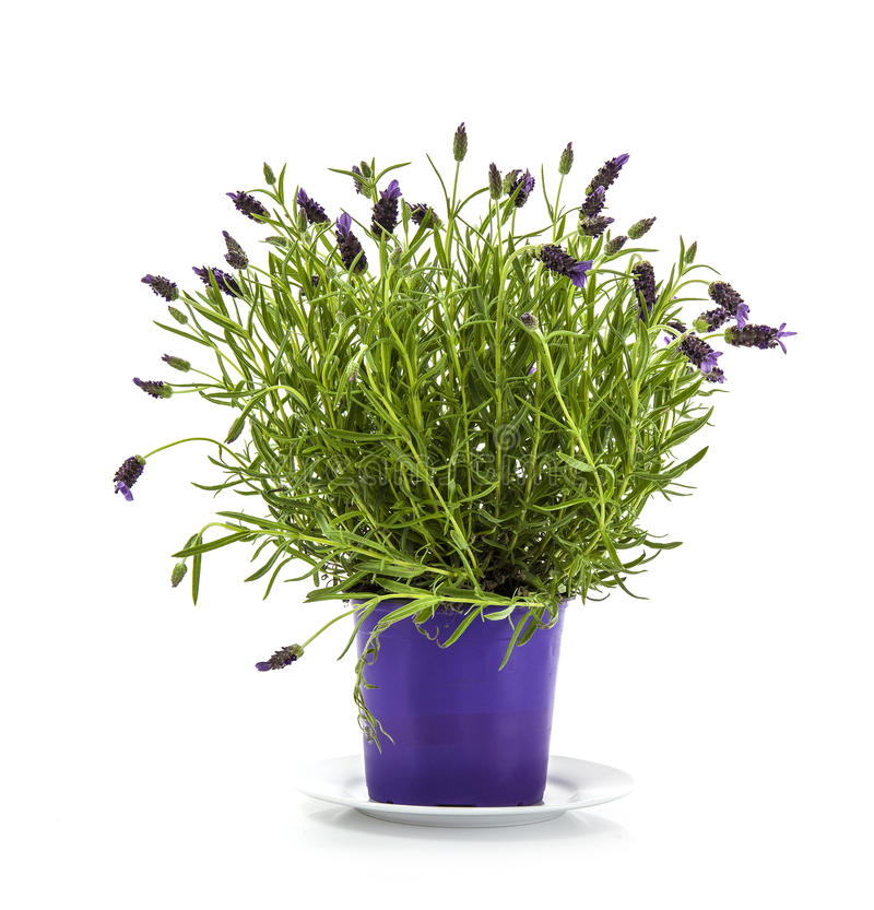 Lavender Stoechas plant in purple flower pot stock photos