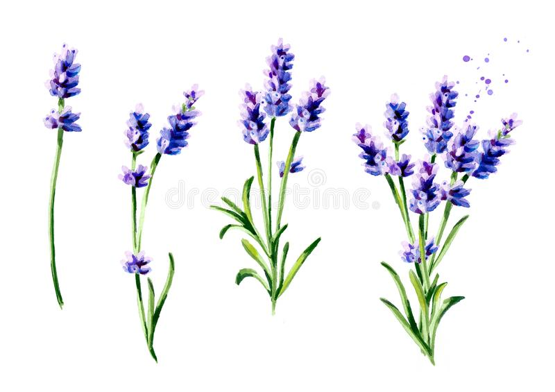 Lavender summer bouquet collection. Watercolor hand drawn vertical illustration, isolated on white background. stock image