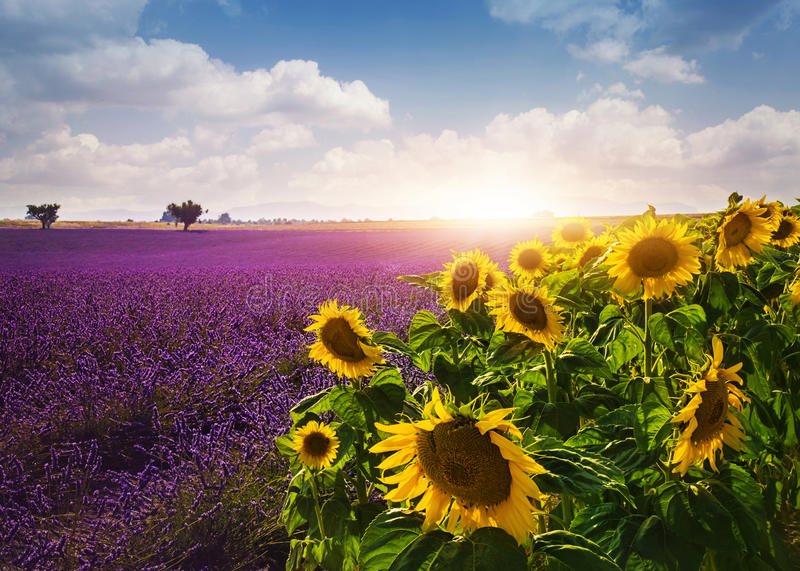 Download Lavender And Sunflowers Fields Stock Photo - Image of france, harvest: 57127710