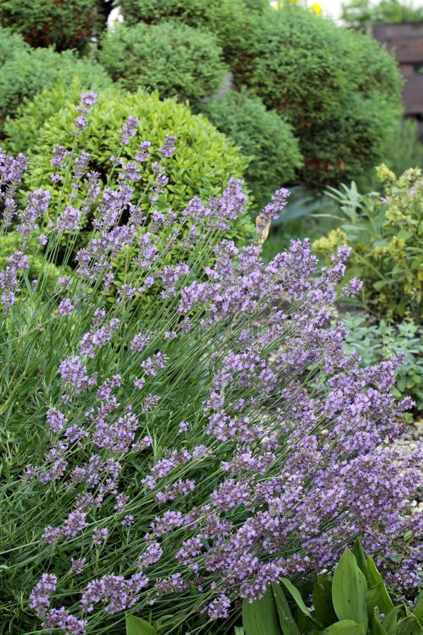 The lavender on the sunny garden place royalty free stock photography