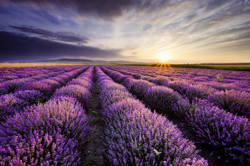 Lavender Sunrise royalty free stock photography