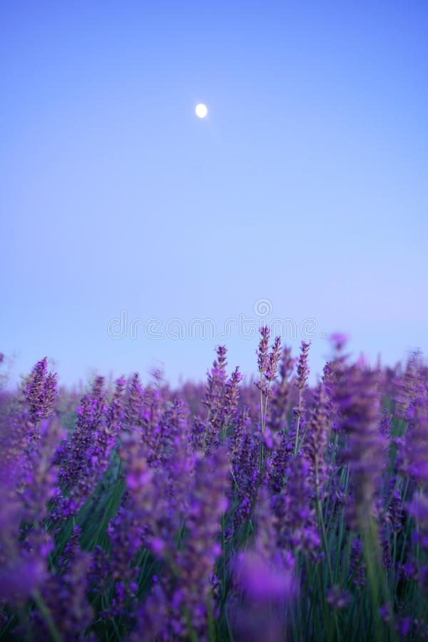 Lavender Under the Moon royalty free stock images