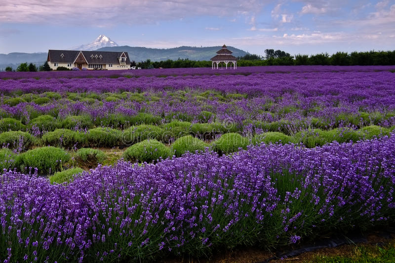 Lavender Valley stock image
