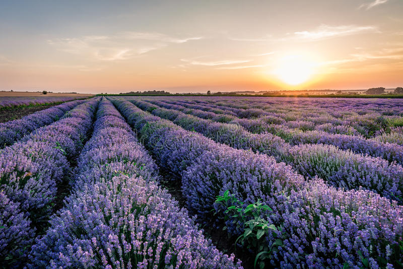 Lavender valley royalty free stock image