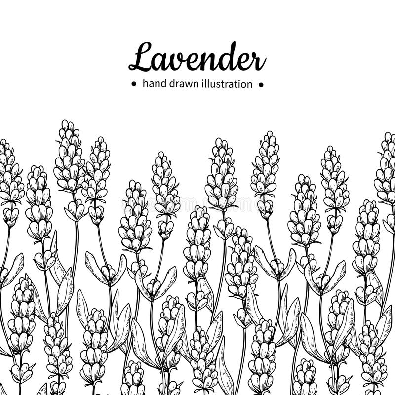 Lavender vector drawing border. Isolated wild flower and leaves. Herbal engraved style illustration. stock illustration