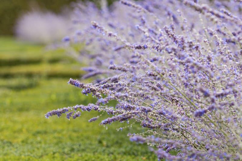 Lavender in Villandry castle garden. Blue-violet lavender closeup in Chateau de Villandry palace, Loire valley, France. stock photography