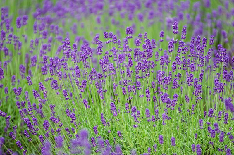 Lavenderplantage in Furano, Hokkaido royalty-vrije stock foto's