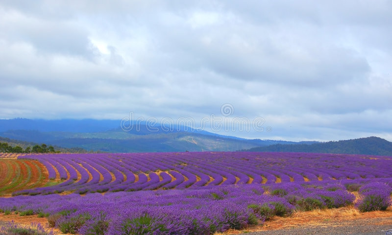 Lavenders in a field stock photo
